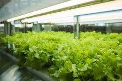 Greenhouse Vegetables Plant row Grow with Led Light Indoor Farm Agriculture Royalty Free Stock Photos
