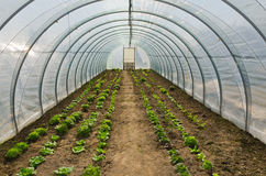 Greenhouse vegetables. Greenhouse tunnel for growing vegetables Stock Photo