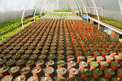 Greenhouse for vegetables - watermelon Royalty Free Stock Photography