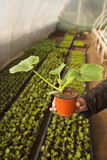 Greenhouse for vegetables - zucchini Stock Photos