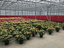 Greenhouse Christmas poinsettias. Greenhouse warehouse of flowering holiday poinsettia plants stock photography