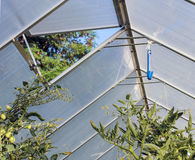Greenhouse window, tomato plants Royalty Free Stock Images