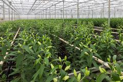 Greenhouse With Cultivation Of Lily Flowers Royalty Free Stock Photos