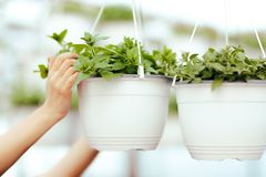 Greenhouse Worker Hands Caring for Plants Royalty Free Stock Photography