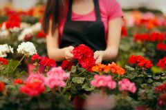 Greenhouse Worker Hands Caring for Plants Stock Photos