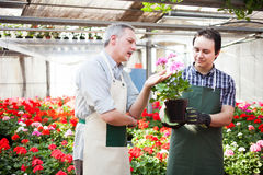 Greenhouse worker holding flower pots Royalty Free Stock Photo