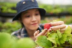 Greenhouse Worker with Ripe Strawberry Stock Photo