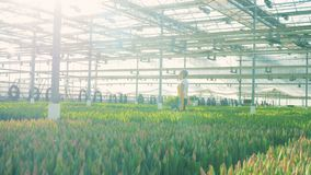 Greenhouse worker walking near tulips, holding a bucket with flowers. 4K stock video footage
