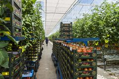 Greenhouse Workers Tomato Harmelen. Harmelen, Netherlands - May 23, 2017: Large tomato greenhouse with ripe tomatoes and worker Stock Images