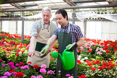 Greenhouse workers watering plants Stock Photography