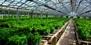 Greenhouse with young poinsettias. Hundreds of poinsettia plants that haven't bloomed in a greenhouse Royalty Free Stock Photo