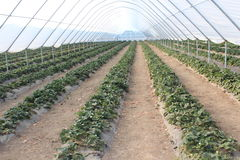 Greenhouses. Any gardeners dream of getting a quality crop, regardless of weather conditions all year round. The one who is really interested in growing food in royalty free stock photo