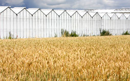 Greenhouses and cropland in Holland. The yellow ears are waving upon the cropland of a farm in the Netherlands. At the background a row of large greenhouses stock photo