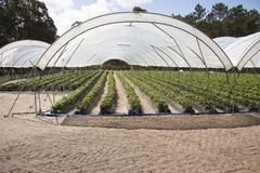 Greenhouses holding strawberries Royalty Free Stock Photo