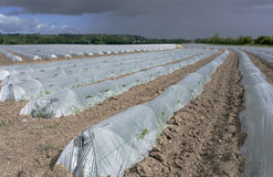 Greenhouses melons Royalty Free Stock Image