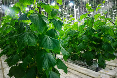 Greenhouses. Photo big fruiting cucumber greenhouses Stock Image