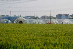 Greenhouses and Wheat Fields in Pudong Shanghai Royalty Free Stock Photography