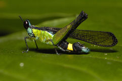 Greenish blue Grasshopper Royalty Free Stock Photography