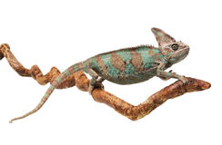 Greenish brown chameleon on branch Stock Photos