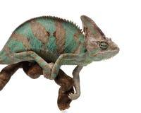 Greenish brown chameleon on branch Stock Photo