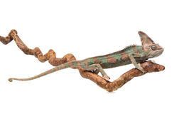 Greenish brown chameleon straightened on branch Royalty Free Stock Images