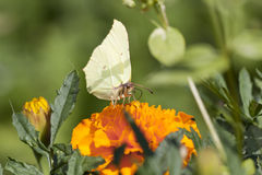 Greenish butterfly on orange flower Royalty Free Stock Photos