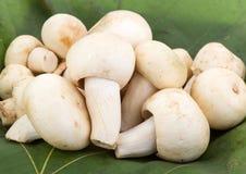 Greenish Mushroom or Green Agaric (Russula virescens Fr.) Stock Photography