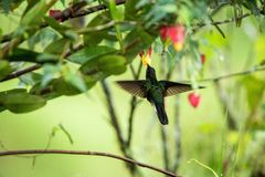 Greenish puffleg sitting on branch, hummingbird from tropical forest,Colombia,bird perching,tiny bird resting in rainforest,clear. Colared inca howering next to royalty free stock images