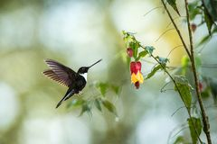 Greenish puffleg sitting on branch, hummingbird from tropical forest,Colombia,bird perching,tiny bird resting in rainforest,clear. Colared inca howering next to stock photography