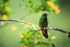 Greenish puffleg sitting on branch, hummingbird from tropical forest,Colombia,bird perching,tiny bird resting in rainforest,clear. Colorful background,nature stock images