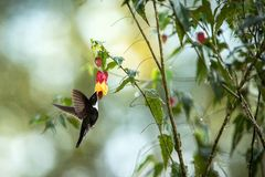 Greenish puffleg sitting on branch, hummingbird from tropical forest,Colombia,bird perching,tiny bird resting in rainforest,clear. Colared inca howering next to stock image