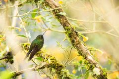 Greenish puffleg sitting on branch, hummingbird from tropical forest,Colombia,bird perching,tiny bird resting in rainforest,clear. Colorful background,nature stock photo