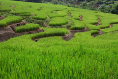 Greenish rice filed terrace. The greenish rice filed terrace in at Mea Chaem, Thailand stock images