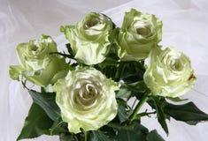 Greenish roses. On a white fabric Stock Photos