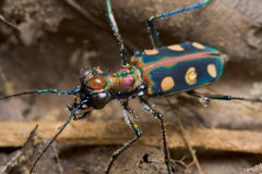 A greenish tiger beetle Stock Photography