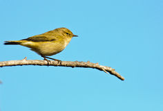 Chiffchaff. A Chiffchaff (Phylloscopus collybita)  perches on a branch Stock Photos