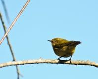 Greenish Warbler Stock Images