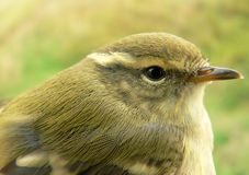 Greenish warbler Stock Photography