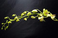 Greenish waxy Orchid Flowe royalty free stock photography