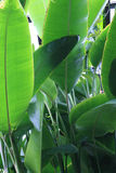 Greenl eaves. Closeup of a plant with gree leaves royalty free stock photography
