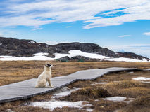 Greenland dog in Ilulissat, Greenland Royalty Free Stock Photo
