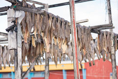 Greenland halibut drying on a wooden rack Royalty Free Stock Photos