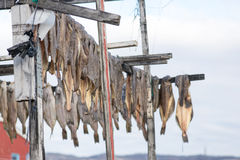 Greenland halibut drying on a wooden rack Royalty Free Stock Images