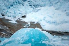 Greenland, pojedynczy dennego frajera obsiadanie na górze góry lodowa Zdjęcia Stock