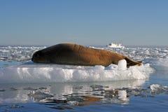 Greenland seal Stock Image