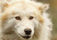 Greenland Sled Dog Stock Photo