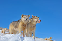 Greenland sled dogs relaxing Royalty Free Stock Photos