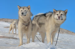 Greenland sled dogs Stock Photo