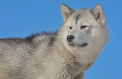 Greenland sled dogs Royalty Free Stock Photography