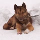 Greenland sledge dog Royalty Free Stock Image